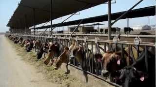 Best Dairy Cows: Sierra Desert Breeders Company Profile