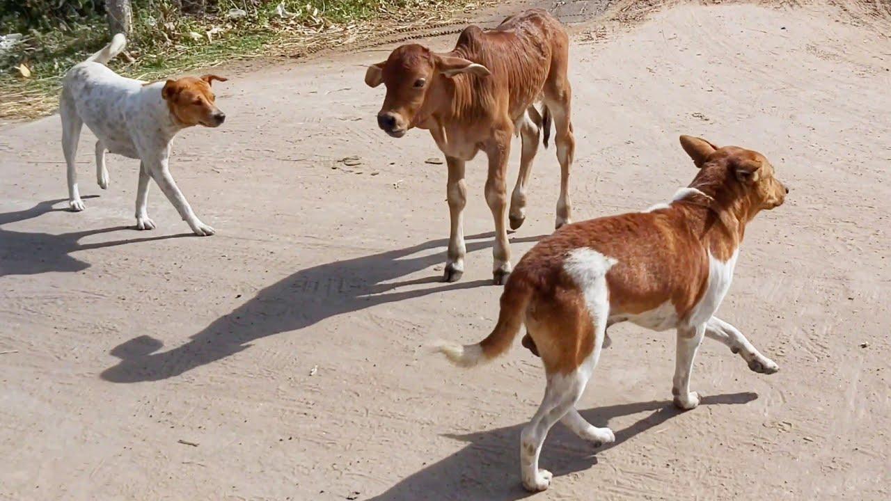 เสียงวัว เสียงลูกวัวร้องมอๆ วัวน้อยน่ารัก Cow sound