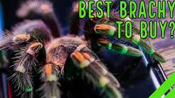 Mexican Flame Knee Tarantula (Brachypelma auratum) Care & Info