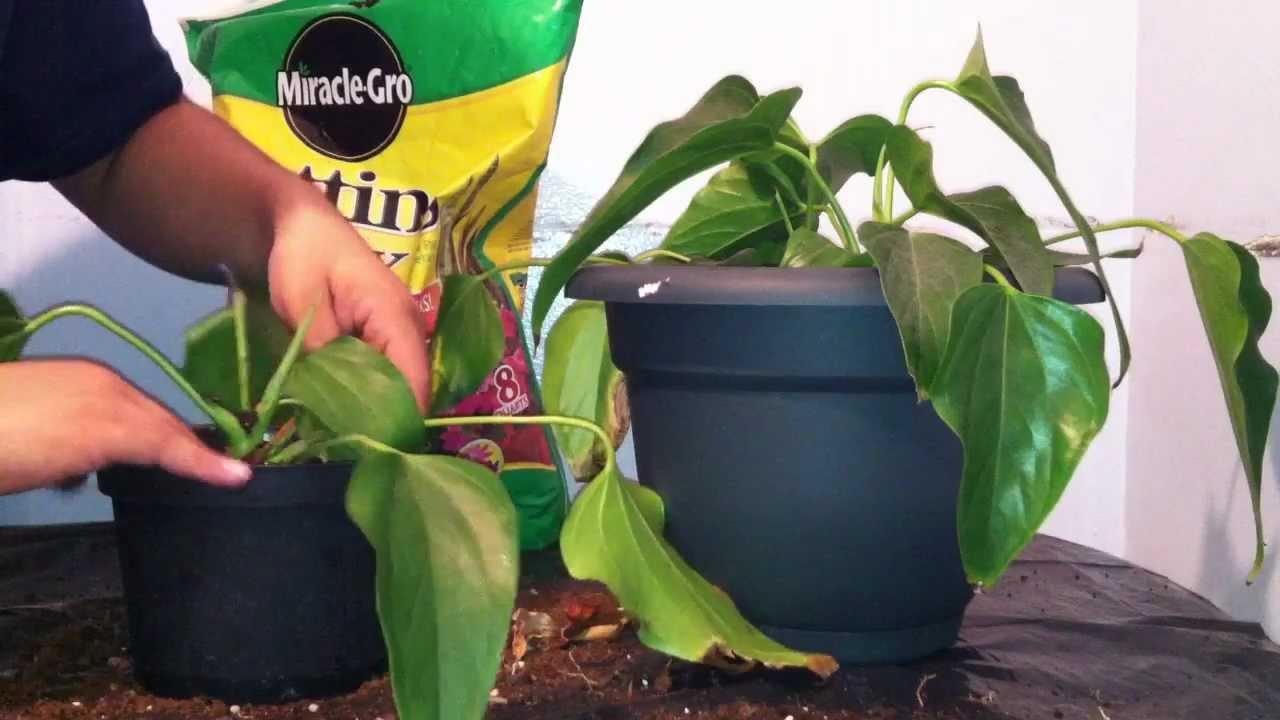 Transplantar una planta cambiar de maceta youtube for Varias plantas en una maceta