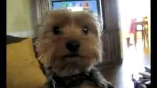 Spoiled Rotten Yorkshire Terrier