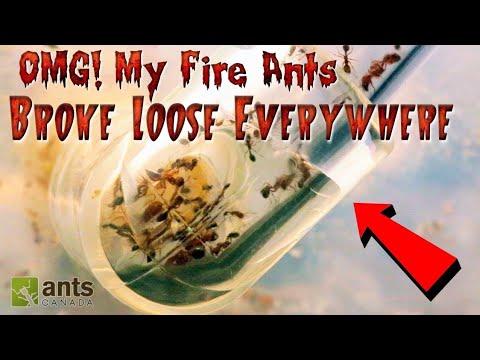 OMG! My Pet Fire Ants BROKE LOOSE Everywhere!