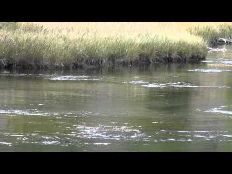 YELLOWSTONE  FIREHOLE RIVER -  Trout Jumping Feeding On Mayfly Hatch