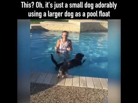 Puppy Jumps on Swimming Dog