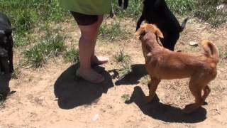 Ginger :adoptable:gaffney Sc:almost Home Rescue:carolina Dog: Puppy