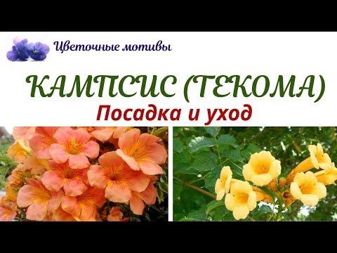 Кампсис (текома, трубач): посадка, уход, выращивание. Садовая лиана для ленивых!
