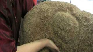 Montee, The 100 Pound Standard Poodle, 6 Years Old, Neutered, Correct Weight.mod