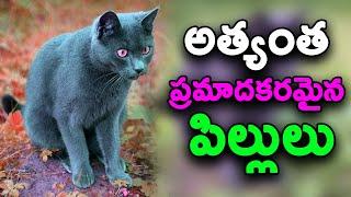 Most Dangerous Cat Breeds in the World || T Talks
