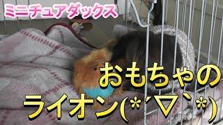 【ミニチュアダックス】ライオンさんもだーい好き(*´▽`*)