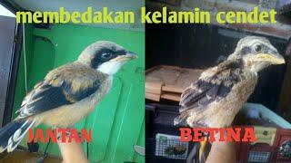membedakan kelamin burung cendet jantan betina