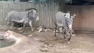 zebra シマウマくんの日々.