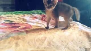Абиссинские котята .питомник Treasure Bastet