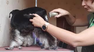 Pet Grooming miniature schnauzer Пет Стрижка цвергшнауцера уход за шерстью миниатюрного шнауцера