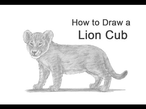 How To Draw A Lion Cub Youtube The tawny lion cub has wandered off and is lost in the bush. how to draw a lion cub
