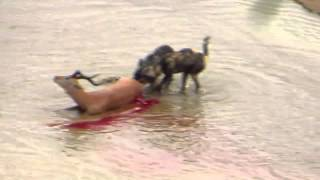 Wild Dogs Impala Hunt
