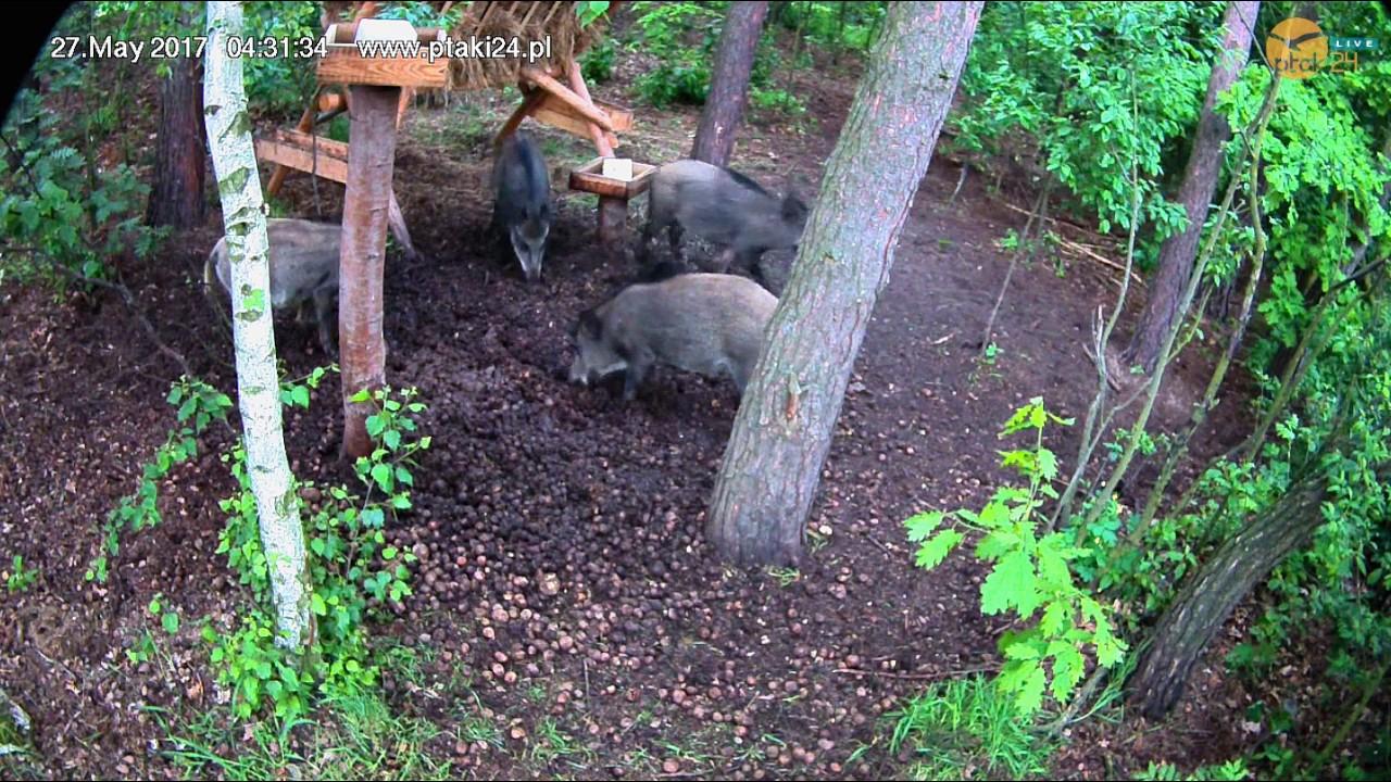 Poranna wizyta dzików w karmisku w lesie na Podkarpaciu