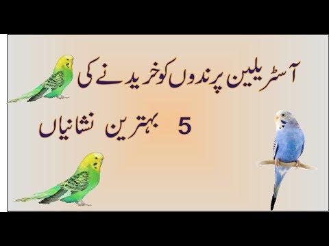 Australian Parrots Buying five 5 Tips, Market se buy krny k  5 neshaneyan  in Urdu Hindi thumbnail