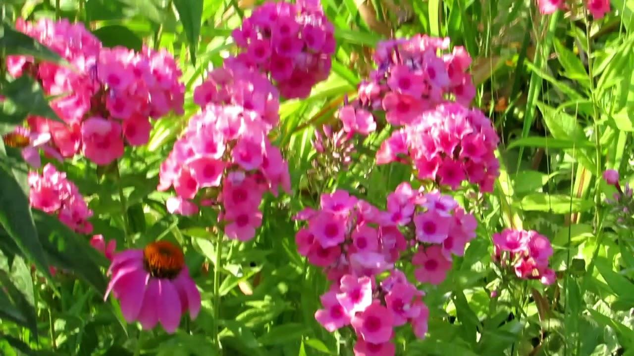 Beautiful pink phlox perennial flowers in my garden youtube beautiful pink phlox perennial flowers in my garden mightylinksfo