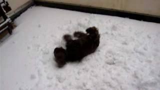 Cocker Spaniel Liebt Schnee