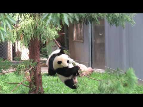 Giant panda Bei Bei Swings Down to Earth