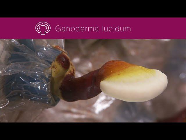 El Ganoderma lucidum de Gano Excel