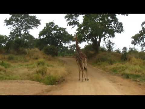 MVI 2454   Giraffe vlucht voor kanarie Kruger NP