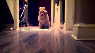 Shar Pei Bear Coat Playing 2