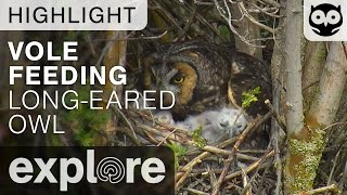 Owl Feeds Chick Vole - Long-eared Owl - Live Cam Highlight thumbnail
