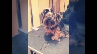 Стрижка йорка(Никуля в новом образе! Все покороче)) # стрижкасобак #pitergroom #grooming #dog #йорк #йоркширскийтерьер #moisobachki #KaterinaS., 2016-11-04T16:23:24.000Z)