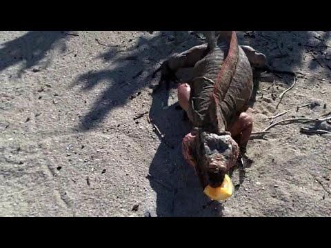 Iguanas on Allen's Cay (Exuma, Bahamas)