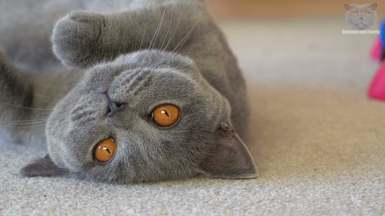 British Shorthair - Cats With The Cutest Faces?