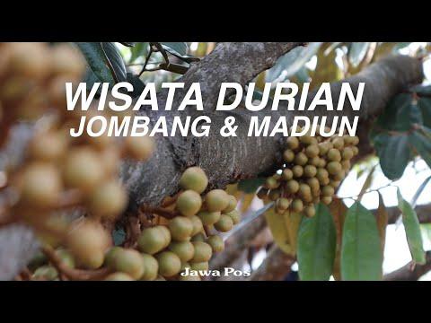 Jawa Pos Belah Durian Episode 23: Wisata Durian Jombang dan Madiun