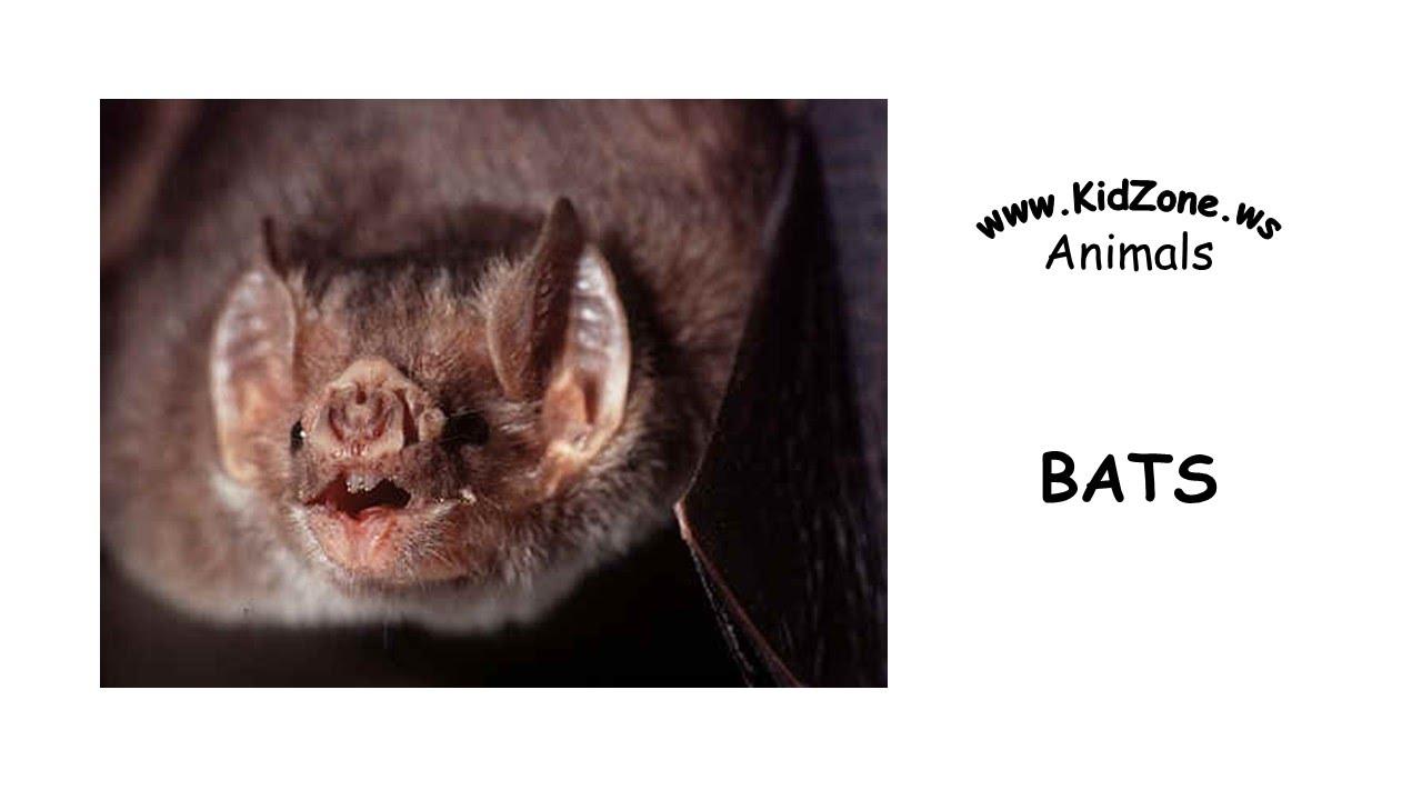 Kidzone Animals: Bats - YouTube