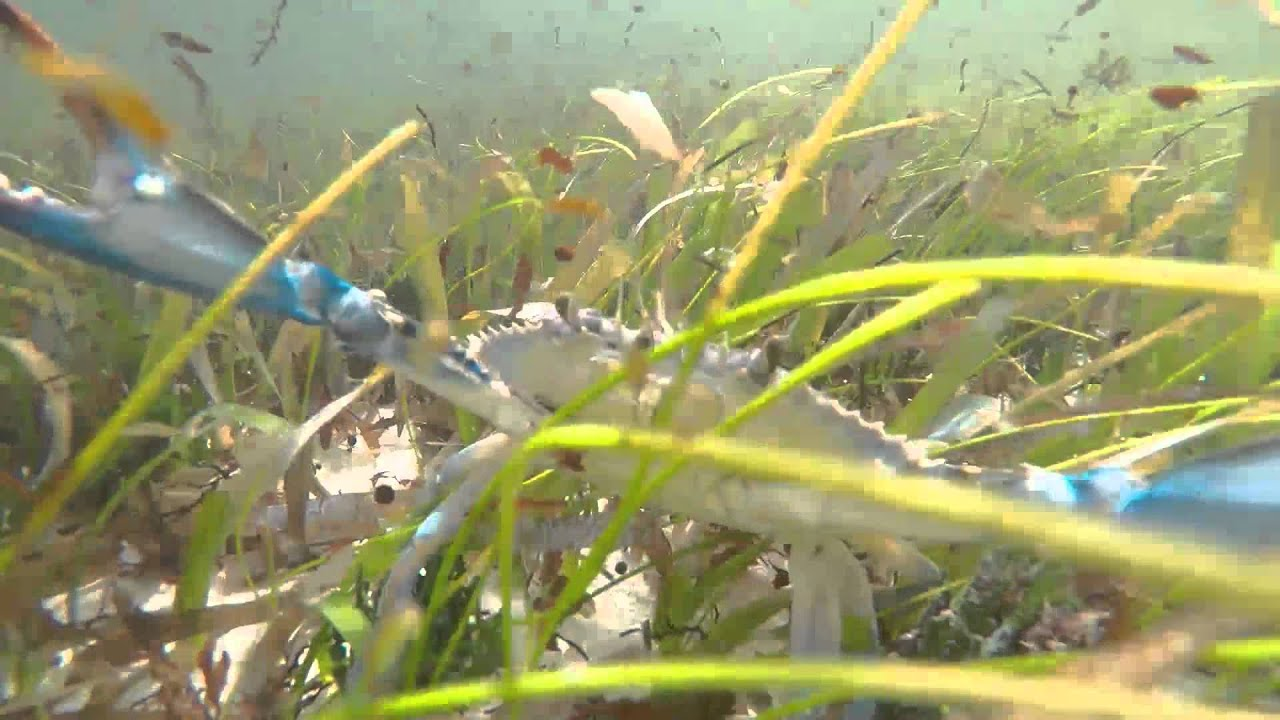 Underwater footage - Stalking a blue crab with a gopro ...