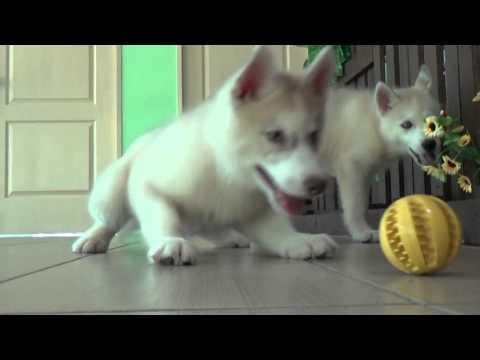 Siberian Husky 4500198001928