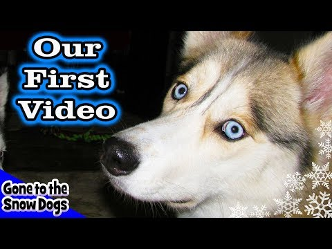 siberian-husky-testing-out-the-hd-flipshare-camera-our-first-video