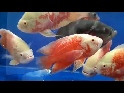 Premium Ornamental Fish Whatsapp Clubs - ITS TRIPPING