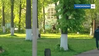 Лось в Литературном сквере города Иваново