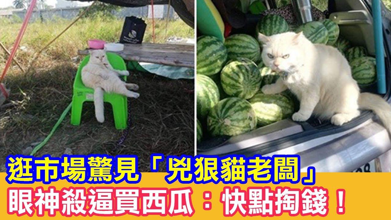 逛市場驚見「兇狠貓老闆」眼神殺逼買西瓜:快點掏錢!|貓咪搞笑