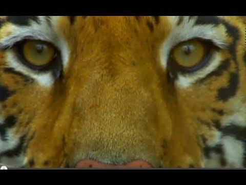 Découvrez le Tigre de Bengale dans ce magnifique documentaire ..