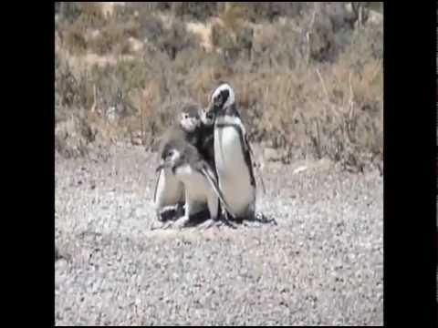 Argentina Travel: Magellanic penguins in Puerto Madryn