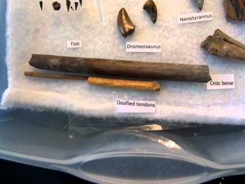 Dinosaur fossils.