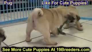 Pug, Puppies, For, Sale, In, Lexington, County, Kentucky, KY, Bowling Green, Owensboro, Covington, H