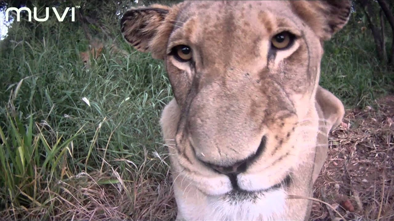 Veho Muvi Hd South African Safari - Close Up - Youtube-6906