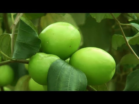 Starting a Business - Jujube Fruit Farming Business Ideas and Apple Ber Cultivation