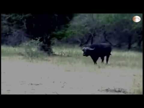 [HD]Thế Giới Động Vật:Trâu rừng húc chết Sư tử