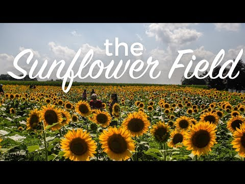 This gorgeous sunflower field is a must-visit in Pennsylvania