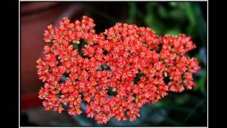 видео Crassula PERFOLIATA (Крассула, Толстянка) - Суккуленты и каудексные  - Интернет-магазин - Адениум дома: от семян до растений. Выращивание и уход.