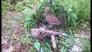 Cara Pikat Burung Tekukur Dijamin Pasti Selalu Dapat Dengan Teknik Yang Digunakan Ini
