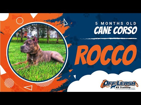 5-Month Old Cane Corso, Rocco!  Cane Corso Trainers in Virginia | Cane Corse Dog Training